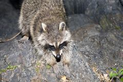 Raccoon arkivbilder