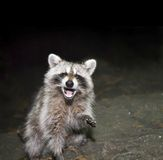 Raccoon Fotos de Stock