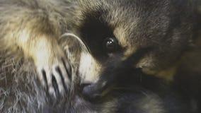 raccoon vídeos de arquivo