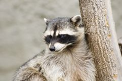 Raccoon. In zoo royalty free stock image