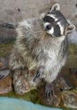 Raccoon imagens de stock royalty free