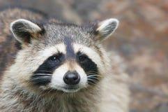raccoon стоковые изображения