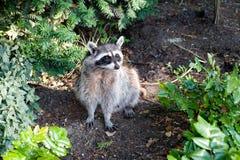 raccoon royaltyfria bilder
