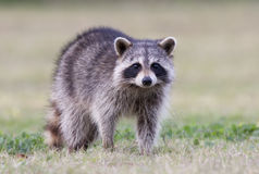 Raccoon. On grass in Florida Stock Photography