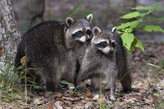 raccoon Arkivfoto