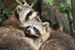 Raccoon Royalty Free Stock Photography