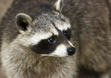 Raccoon. Close-up  view of a raccoon face Stock Images