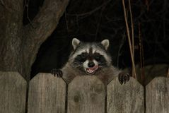 Raccoon stock image