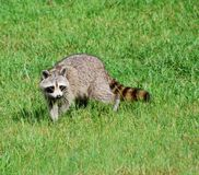 raccoon Стоковая Фотография RF