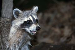 Raccoon. Photo of Raccoon taken at night inside Central Park in New York City, USA Stock Images