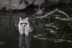 Raccoon. Photo of Raccoon taken at night inside Central Park in New York City, USA Royalty Free Stock Photography