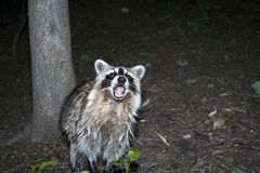 Raccoon. Photo of Raccoon taken at night inside Central Park in New York City, USA Stock Photos
