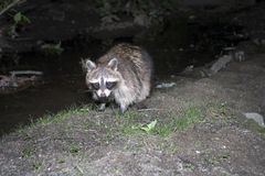 Raccoon. Photo of Raccoon taken at night inside Central Park in New York City, USA Royalty Free Stock Images