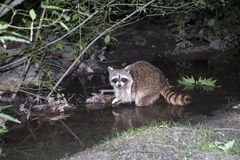 raccoon Royaltyfria Bilder