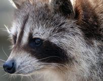 Raccoon. Close-up portrait of a wild raccoon Royalty Free Stock Photography