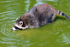 Raccoon. That sits in water and drink Stock Photos