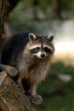 Raccoon Immagini Stock Libere da Diritti