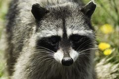 raccoon Royaltyfri Bild