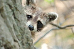 Raccoon. Head shot of a young raccoon peeking around a tree trunk Royalty Free Stock Photos