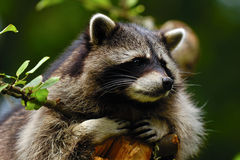 Free Raccoon Royalty Free Stock Image - 19966206