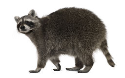 Raccoon, 2 anos velho, andando fotografia de stock