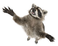 Raccoon, 2 years old, reaching up Stock Image