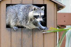 Raccoon. A raccoon looking for food in the trash in a South Florida park Stock Photo