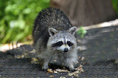 Raccoon. Eating a peanut cautiously Royalty Free Stock Image