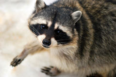 Raccoon. Watches the photographer and begs for food Stock Photo