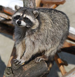 Raccoon. Watches the photographer and begs for food Royalty Free Stock Photography