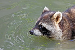 Raccoon Royalty Free Stock Photo