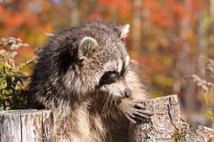 Raccoon. In nature during fall Royalty Free Stock Photo