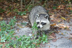 Raccoon. A picture of a raccoon in the wild Stock Photography