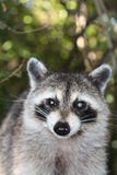 Raccoon. A picture of a wild raccoon Stock Photo