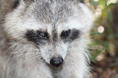 Raccoon. A picture of a wild raccoon in the wilderness Stock Image