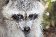 Raccoon fotografering för bildbyråer