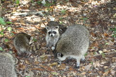 Raccoon. A picture of a wild raccoon in the wilderness Royalty Free Stock Photos