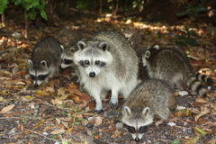 Raccoon. A picture of a wild raccoon in the wilderness Royalty Free Stock Photo
