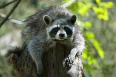 Raccoon. Medium-sized mammal native to North America, sitting on the stump stock image