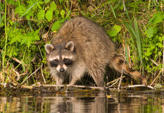Raccoon Fotografie Stock