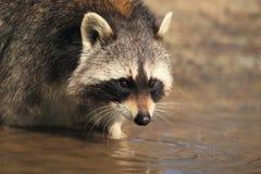 Raccoon Royaltyfri Fotografi