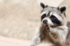 Raccoon. A raccoon wishing to make true friends Royalty Free Stock Photography