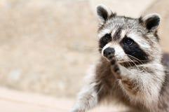 Raccoon. A raccoon wishing to make true friends royalty free stock photography