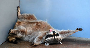 Raccoon. Is taking the rest Stock Photography