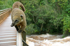 Raccoon. On a railing Royalty Free Stock Photos