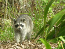 Raccoon 4. Photo of a raccoon feading in a bromiliad Royalty Free Stock Images