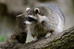 raccoon Fotografia de Stock Royalty Free