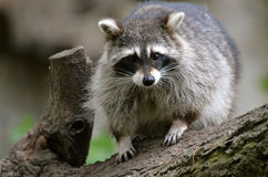 raccoon royaltyfria foton