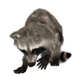 raccoon Obrazy Royalty Free