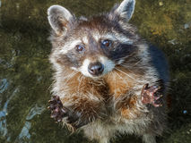 raccoon Images stock